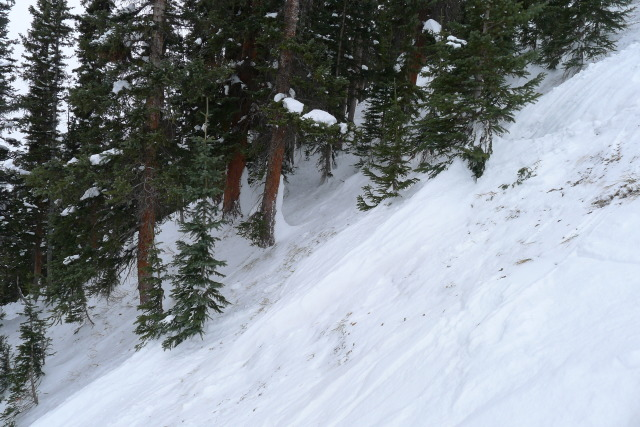 <b>Figure 10:</b> Timber the avalanche flowed through. The snow on the uphill side of the trees shows the approximate depth of the debris during the avalanche. (<a href=javascript:void(0); onClick=win=window.open('https://avalanche.state.co.us/caic/media/full/acc_485_4158.jpg','caic_media','resizable=1,height=820,width=840,scrollbars=yes');win.focus();return false;>see full sized image</a>)