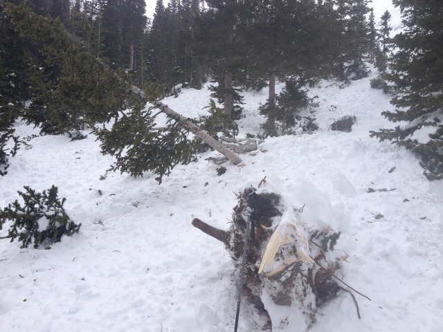 <b>Figure 5:</b> Vegetation damaged in the avalanche (<a href=javascript:void(0); onClick=win=window.open('https://avalanche.state.co.us/caic/media/full/acc_497_4516.jpg','caic_media','resizable=1,height=820,width=840,scrollbars=yes');win.focus();return false;>see full sized image</a>)