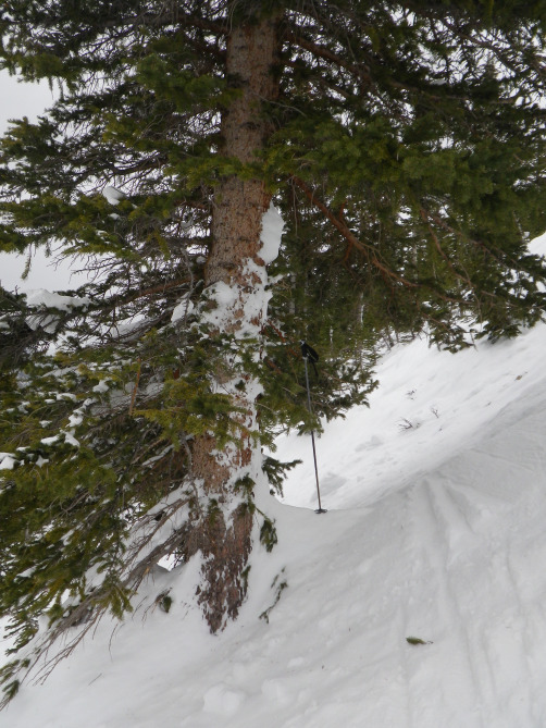 <b>Figure 14:</b> Avalanche debris on a tree in the lower portion of the start zone, near where Riders 2 and 4 were buried. (<a href=javascript:void(0); onClick=win=window.open('http://avalanche.state.co.us/caic/media/full/acc_526_7260.jpg','caic_media','resizable=1,height=820,width=840,scrollbars=yes');win.focus();return false;>see full sized image</a>)
