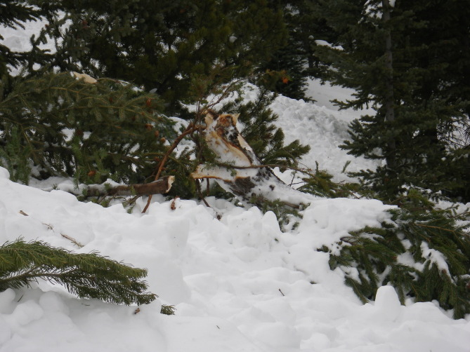 <b>Figure 17:</b> Trees damaged in the avalanche. (<a href=javascript:void(0); onClick=win=window.open('http://avalanche.state.co.us/caic/media/full/acc_526_7265.jpg','caic_media','resizable=1,height=820,width=840,scrollbars=yes');win.focus();return false;>see full sized image</a>)
