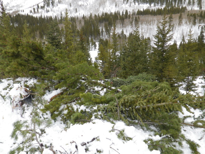<b>Figure 19:</b> Trees damaged in the avalanche. (<a href=javascript:void(0); onClick=win=window.open('http://avalanche.state.co.us/caic/media/full/acc_526_7267.jpg','caic_media','resizable=1,height=820,width=840,scrollbars=yes');win.focus();return false;>see full sized image</a>)