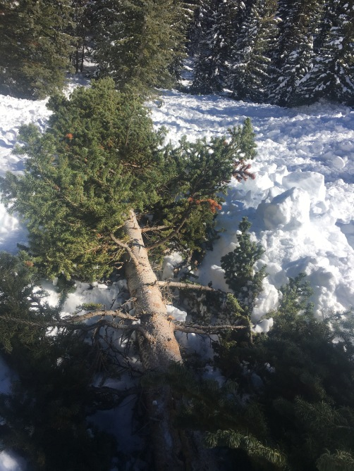 <b>Figure 10:</b> A tree toppled in the avalanche. (<a href=javascript:void(0); onClick=win=window.open('http://avalanche.state.co.us/caic/media/full/acc_631_15694.jpg','caic_media','resizable=1,height=820,width=840,scrollbars=yes');win.focus();return false;>see full sized image</a>)